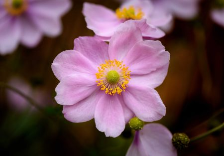 Garden Flower - Pink, Vancouver, Canada