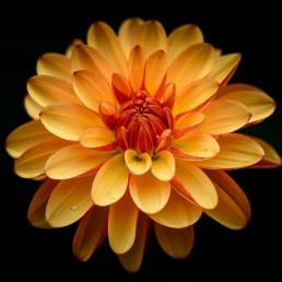Garden Flower - Orange, Vancouver, Canada