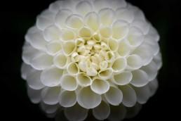 Garden Flower - White, Vancouver, Canada