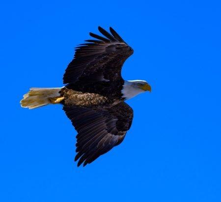 Brackendale Bald Eagle in Flight : Nikkor 200-500 f/5.6 VR Lens
