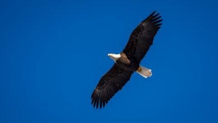 Squamish Bald Eagles : 2016-01-02 : Nikon D810 & Nikkor 200-500 : Flying 1