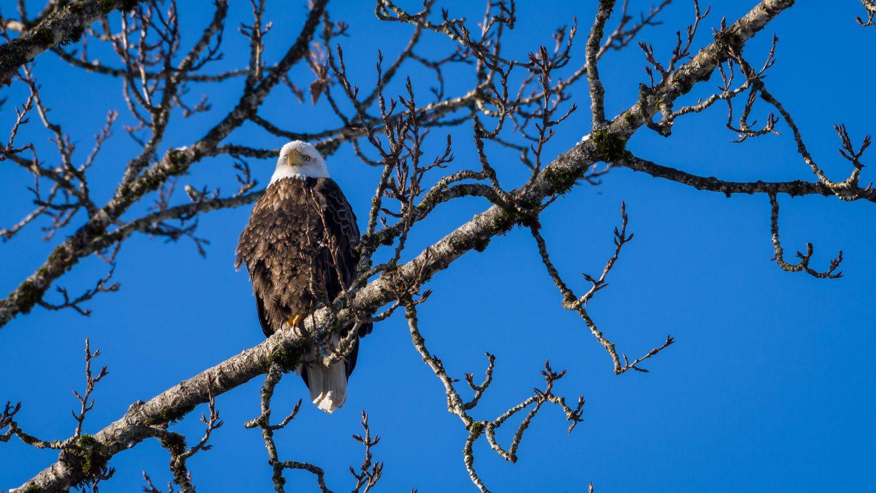 Squamish Bald Eagles : 2016-01-02 : Nikon D810 & Nikkor 200-500 : Eagle in Tree