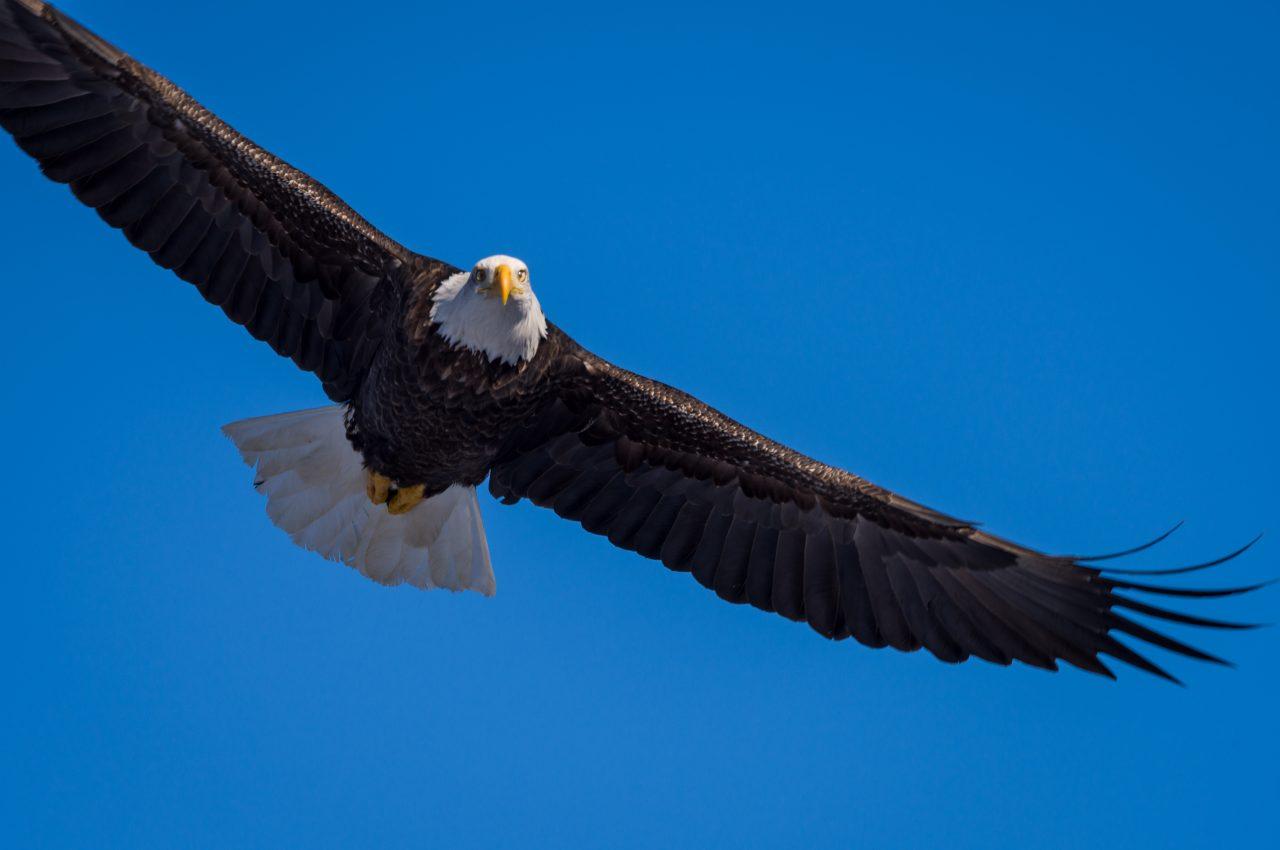 Squamish Bald Eagles : 2016-01-02 : Nikon D810 & Nikkor 200-500 : Just Missed Flight Shot