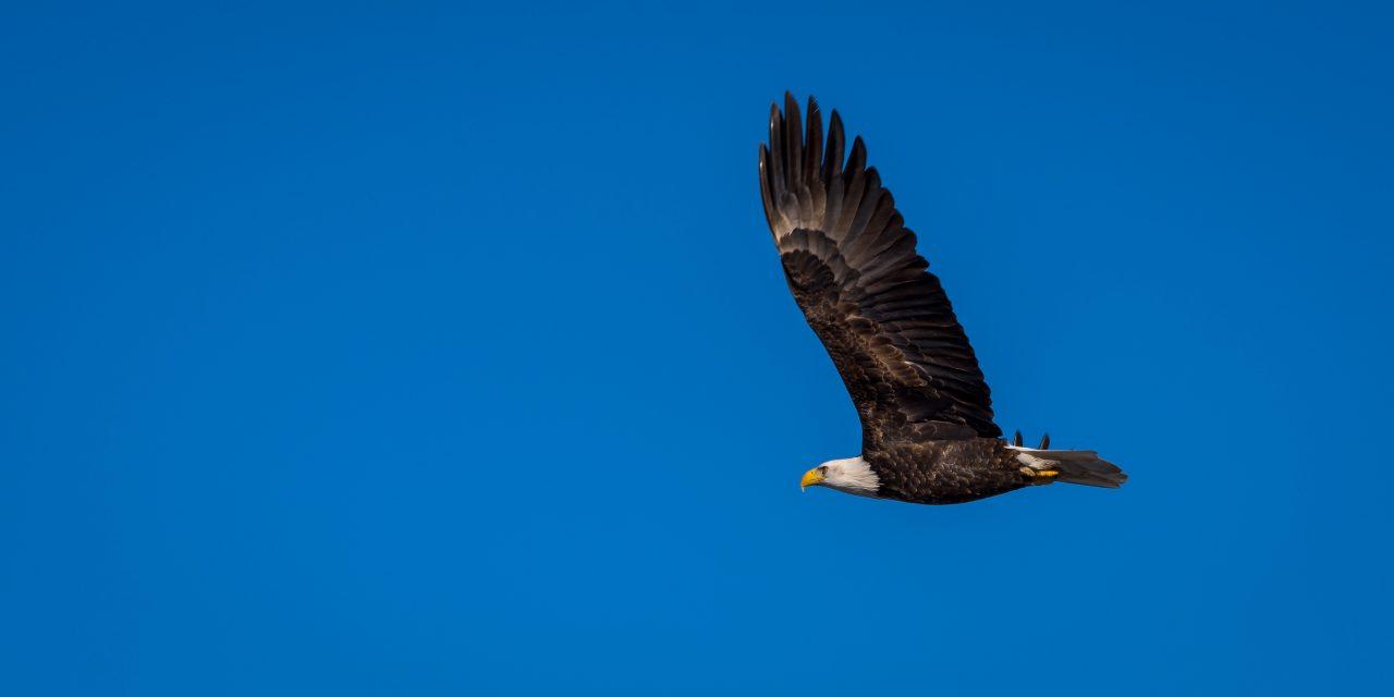 Squamish Bald Eagles : 2016-01-02 : Nikon D810 & Nikkor 200-500 : Going Somewhere