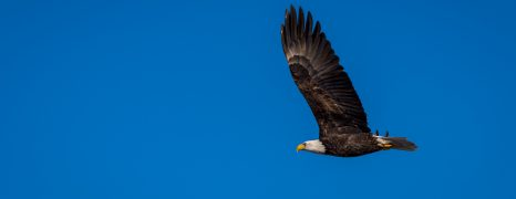 Squamish Bald Eagles
