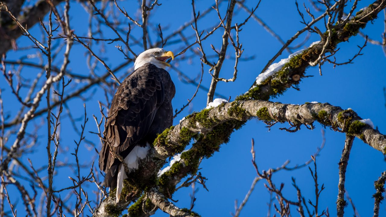 Squamish Bald Eagles : 2016-01-02 : Nikon D810 & Nikkor 200-500 : Squawk