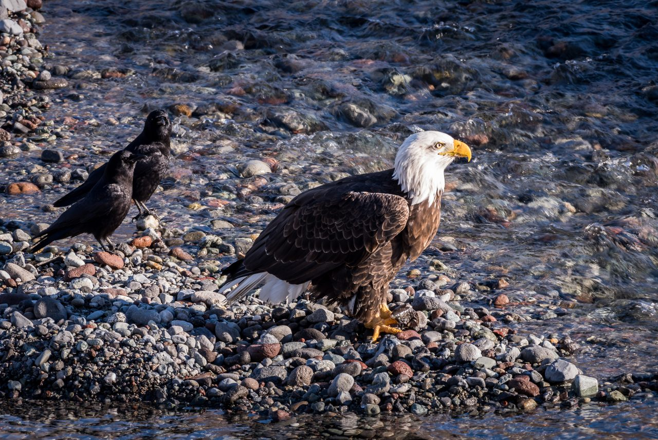 Squamish Bald Eagles : 2016-01-02 : Nikon D810 & Nikkor 200-500 : Eagle and Crow Buddies