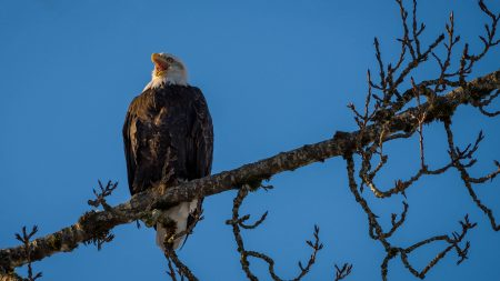 Squamish Bald Eagles : 2016-01-02 : Nikon D810 & Nikkor 200-500 : Eagle Playing Rooster In Tree