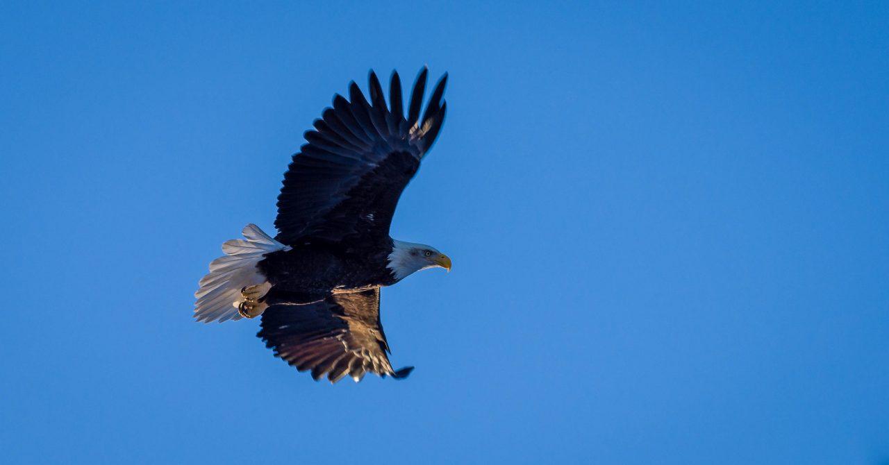 Squamish Bald Eagles : 2016-01-02 : Nikon D810 & Nikkor 200-500 : Flying High