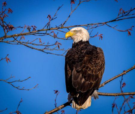 Squamish Bald Eagles : 2016-01-02 : Nikon D810 & Nikkor 200-500 : Eagle Looking at Me