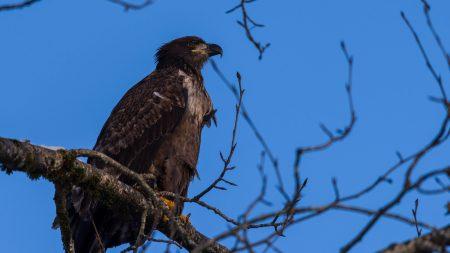 Squamish Bald Eagles : 2016-12-12 : Nikon D810 & Nikkor 200-500 : Juvenile In Tree