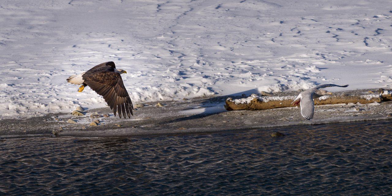 Squamish Bald Eagles : 2016-12-12 : Nikon D810 & Nikkor 200-500 : Seagull Chase