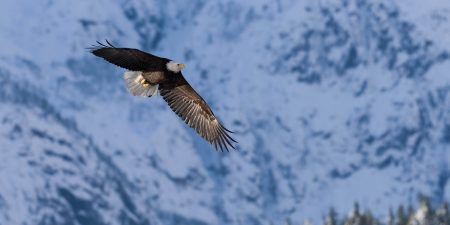 Squamish Bald Eagles : 2016-12-12 : Nikon D810 & Nikkor 200-500 : Majestic