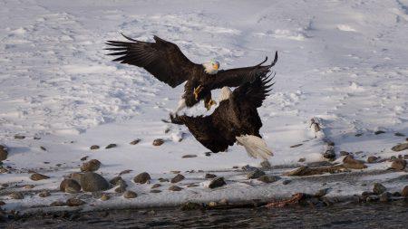 Squamish Bald Eagles : 2016-12-12 : Nikon D810 & Nikkor 200-500 : You're Dead