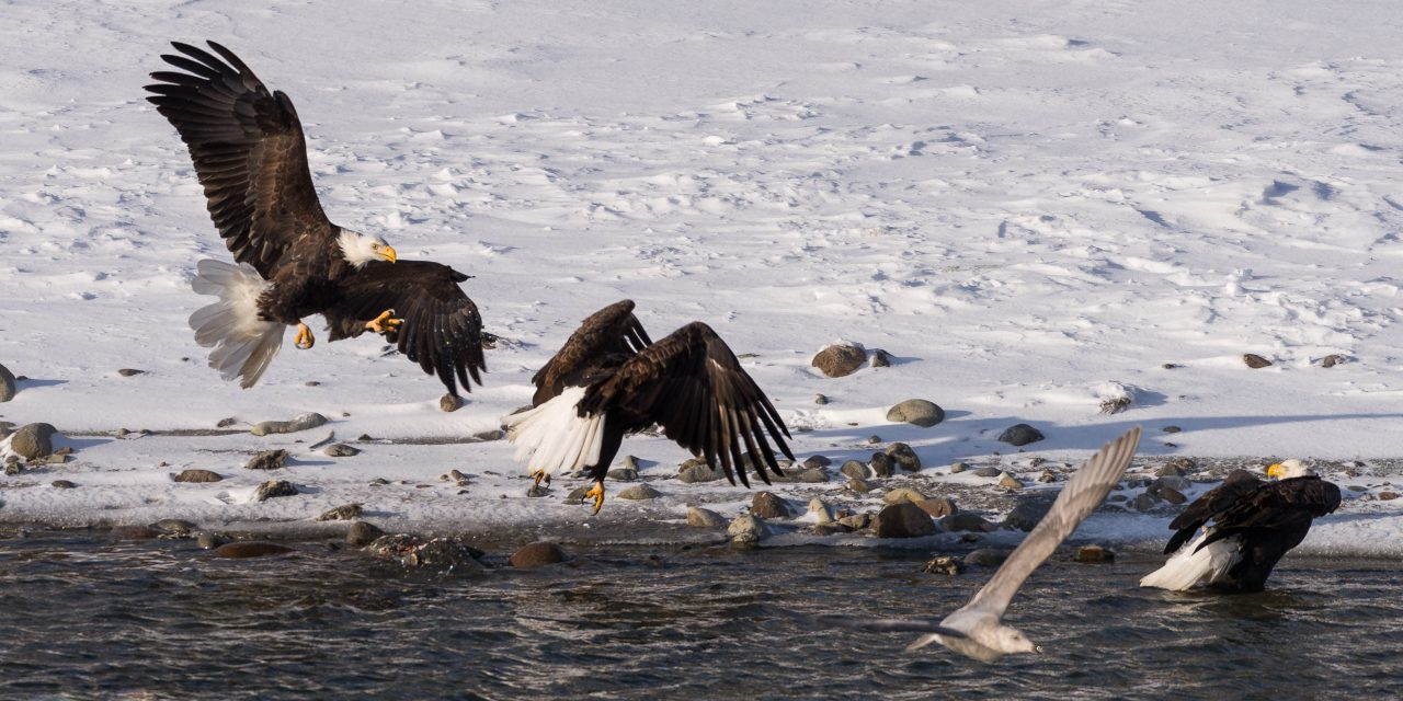 Squamish Bald Eagles : 2016-12-12 : Nikon D810 & Nikkor 200-500 : Attack Vector