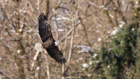 Squamish Bald Eagles : 2016-12-12 : Nikon D810 & Nikkor 200-500 : Flight 1