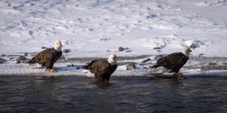 Squamish Bald Eagles : 2016-12-12 : Nikon D810 & Nikkor 200-500 : Three Amigos