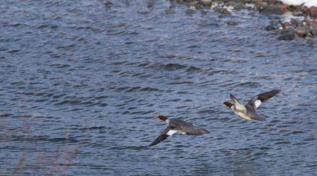 Squamish Bald Eagles : 2016-12-12 : Nikon D810 & Nikkor 200-500 : Ducks Flying