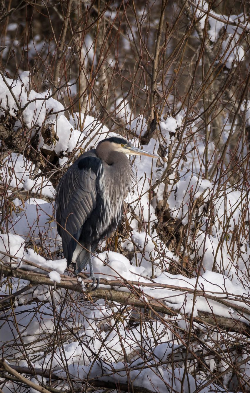 Squamish Bald Eagles : 2016-12-12 : Nikon D810 & Nikkor 200-500 : Great Blue Heron Close