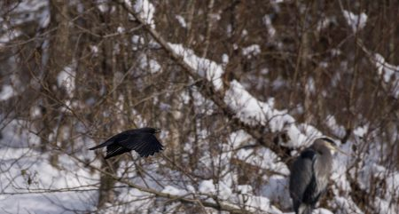 Squamish Bald Eagles : 2016-12-12 : Nikon D810 & Nikkor 200-500 : Crow in Flight
