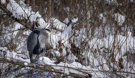 Squamish Bald Eagles : 2016-12-12 : Nikon D810 & Nikkor 200-500 : Great Blue Heron 3