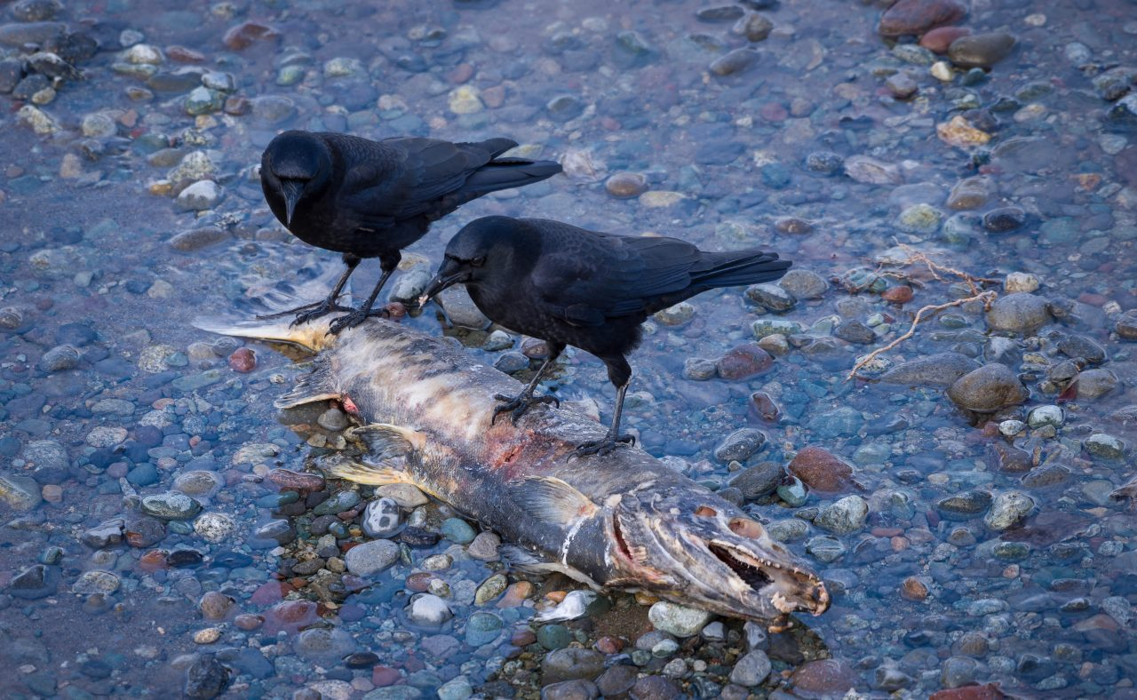 Squamish Bald Eagles : 2016-12-12 : Nikon D810 & Nikkor 200-500 : Crows Eating Salmon
