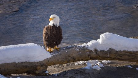 Squamish Bald Eagles : 2016-12-12 : Nikon D810 & Nikkor 200-500 : Eagle Sitting