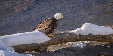 Squamish Bald Eagles : 2016-12-12 : Nikon D810 & Nikkor 200-500 : Eagle Walking