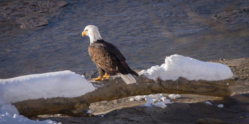 Squamish Bald Eagles : 2016-12-12 : Nikon D810 & Nikkor 200-500 : Eagle Pondering