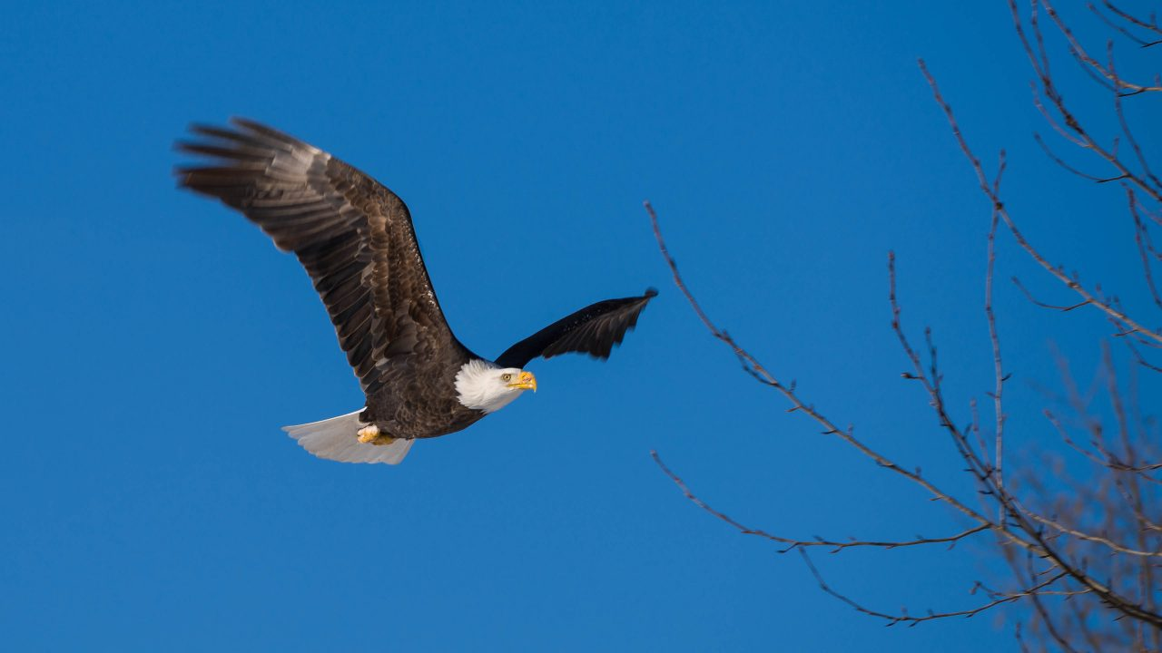 Squamish Bald Eagles : 2016-12-12 : Nikon D810 & Nikkor 200-500 : Eagle in Flight Blue Sky