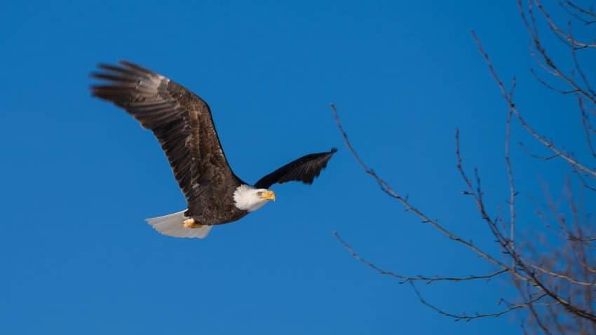 Squamish Bald Eagles : 2016-12-12 : Nikon D810 & Nikkor 200-500 : Eagle in Flight Blue Sky