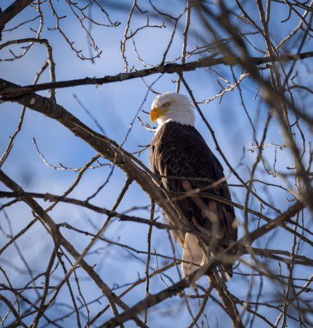 Squamish Bald Eagles : 2016-12-12 : Nikon D810 & Nikkor 200-500 : Eagle in Tree
