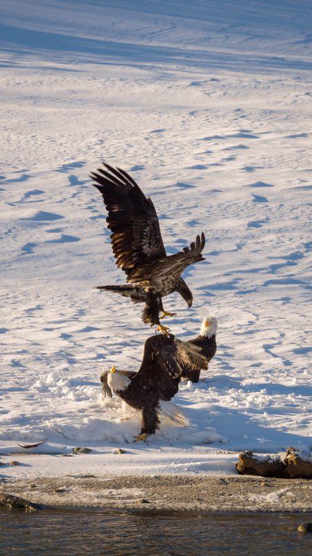 Squamish Bald Eagles : 2016-12-12 : Nikon D810 & Nikkor 200-500 : Juvenile Attack