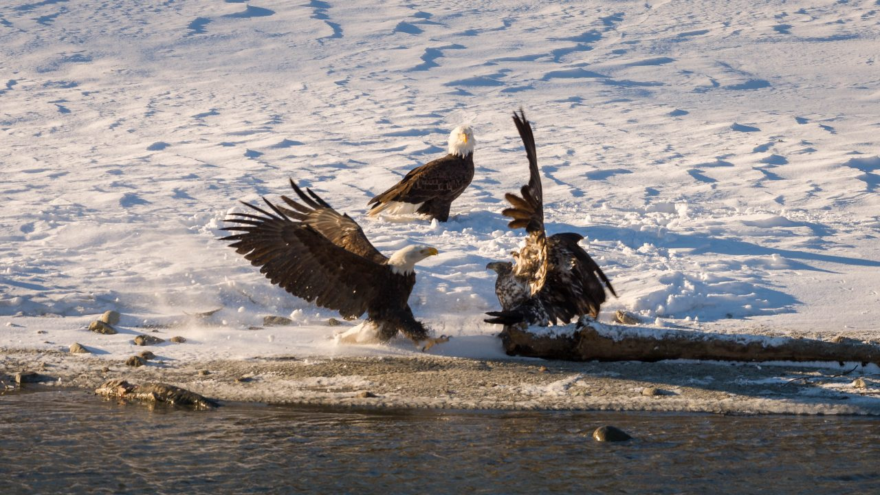 Squamish Bald Eagles : 2016-12-12 : Nikon D810 & Nikkor 200-500 : Attack