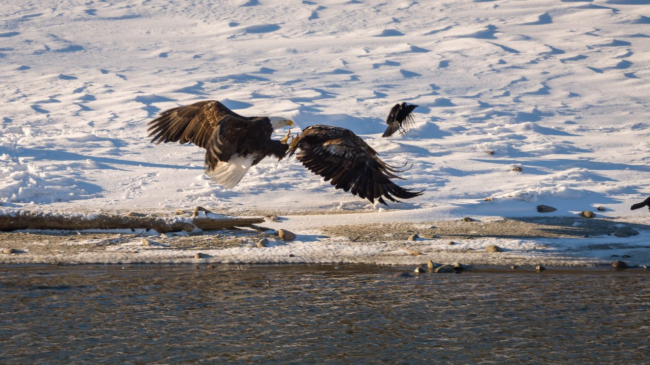 Squamish Bald Eagles : 2016-12-12 : Nikon D810 & Nikkor 200-500 : Arial Attack