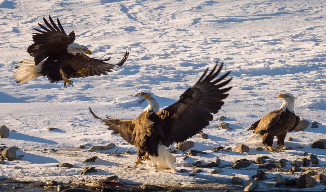 Squamish Bald Eagles : 2016-12-12 : Nikon D810 & Nikkor 200-500 : Attack Sequence 1