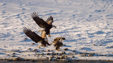 Squamish Bald Eagles : 2016-12-12 : Nikon D810 & Nikkor 200-500 : Dual Landing
