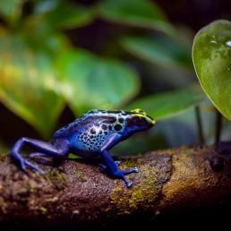 Vancouver Aquarium - Blue Poison Dart Frog : 2018-10-05