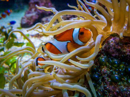 Vancouver Aquarium with the iPhone X : 2018-09-09 : Clown Fish