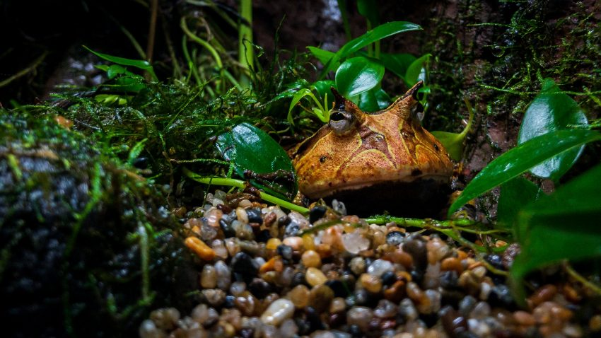Vancouver Aquarium with the iPhone X : 2018-09-09 : Horned Frog