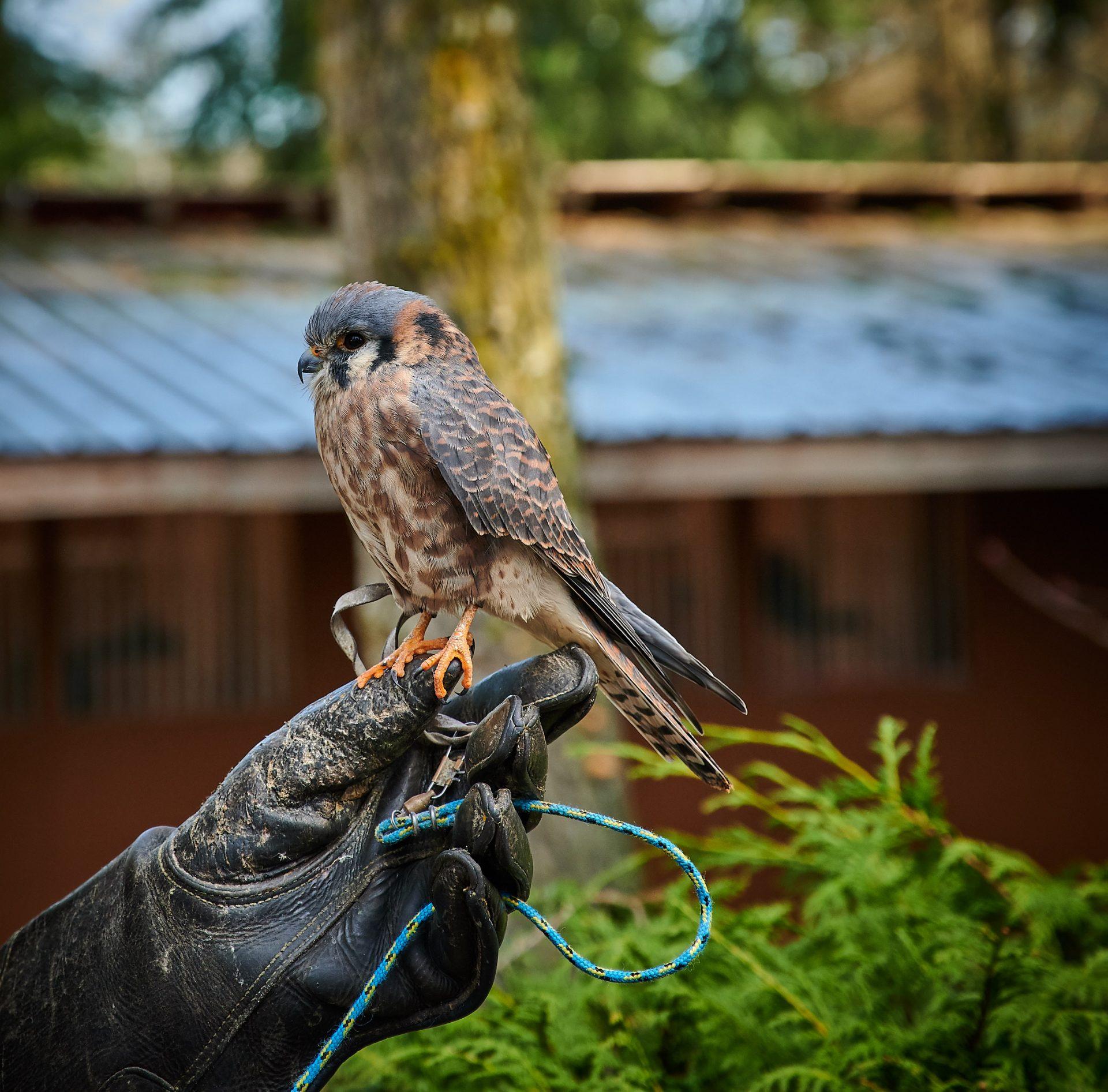 Pacific Northwest Raptors, Duncan, BC – Nikon Z7 Nikkor 24-70 f/4 S – American Kestrel