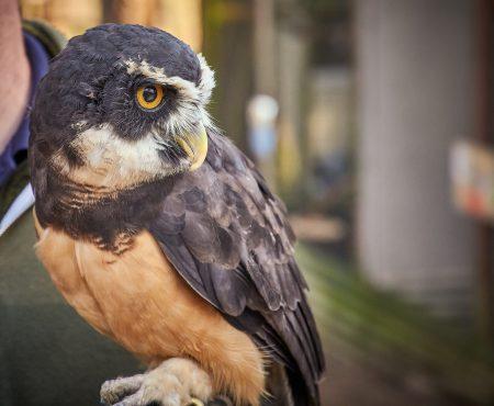 Vancouver Island Raptors - Nikon Z7 Nikkor 24-70 f/4 S - Owl