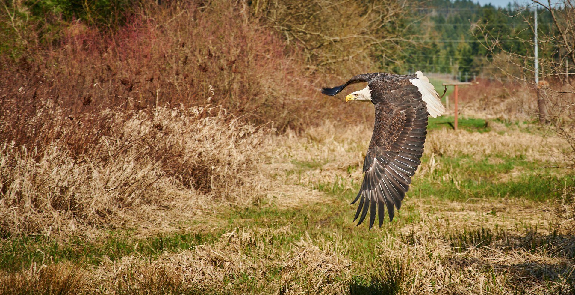 Vancouver Island Raptors – Nikon Z7 Nikkor 24-70 f/4 S – Mature Bald Eagle