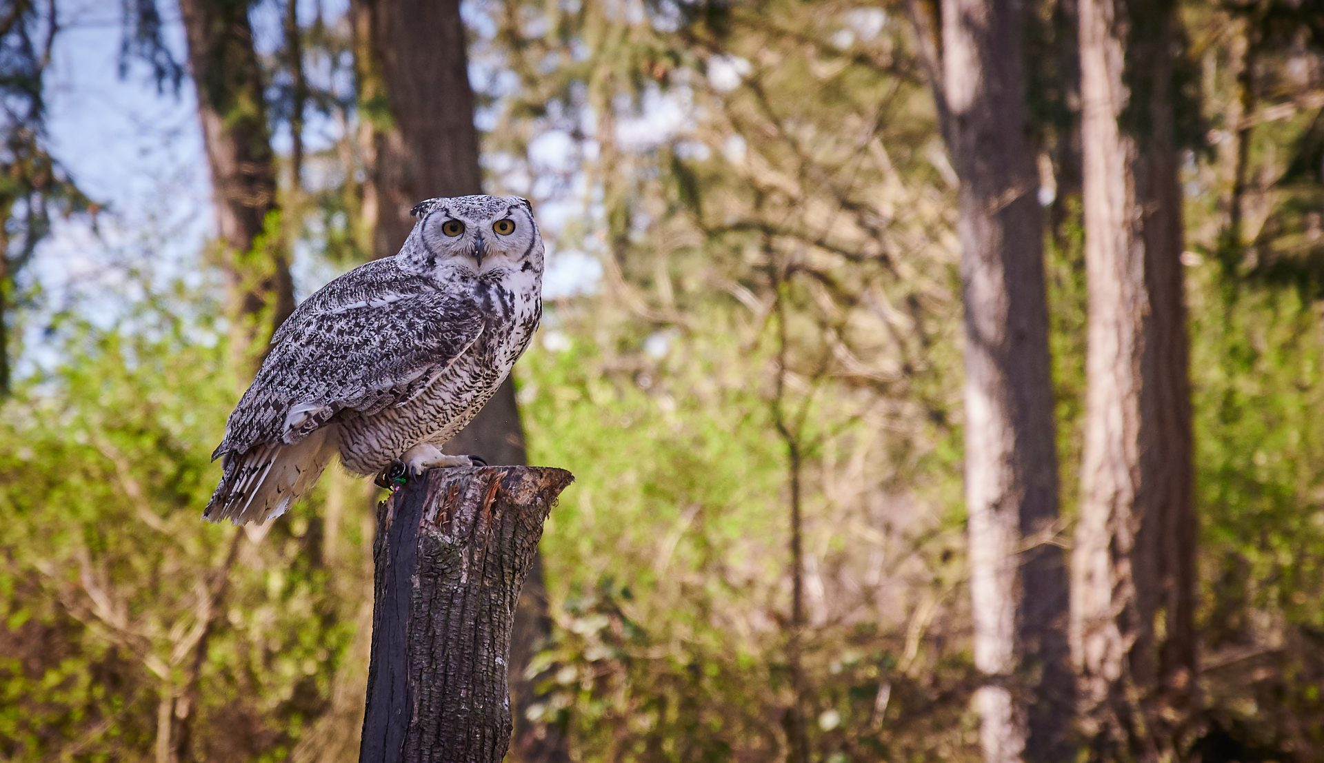 Vancouver Island Raptors – Nikon Z7 Nikkor 24-70 f/4 S – Owl flying demo