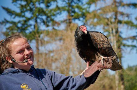 Vancouver Island Raptors – Nikon Z7 Nikkor 24-70 f/4 S – Turkey Vulture flying demo