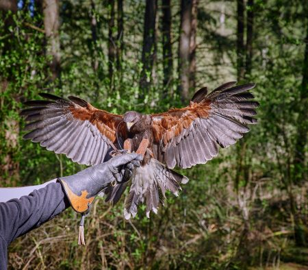 Vancouver Island Raptors – Nikon Z7 Nikkor 24-70 f/4 S – Hawk walk with Red Tailed Hawk