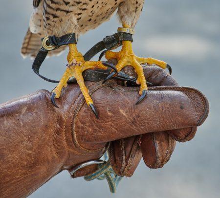 Vancouver Island Raptors – Nikon Z7 Nikkor 24-70 f/4 S – Peregrine Falcon talons close up
