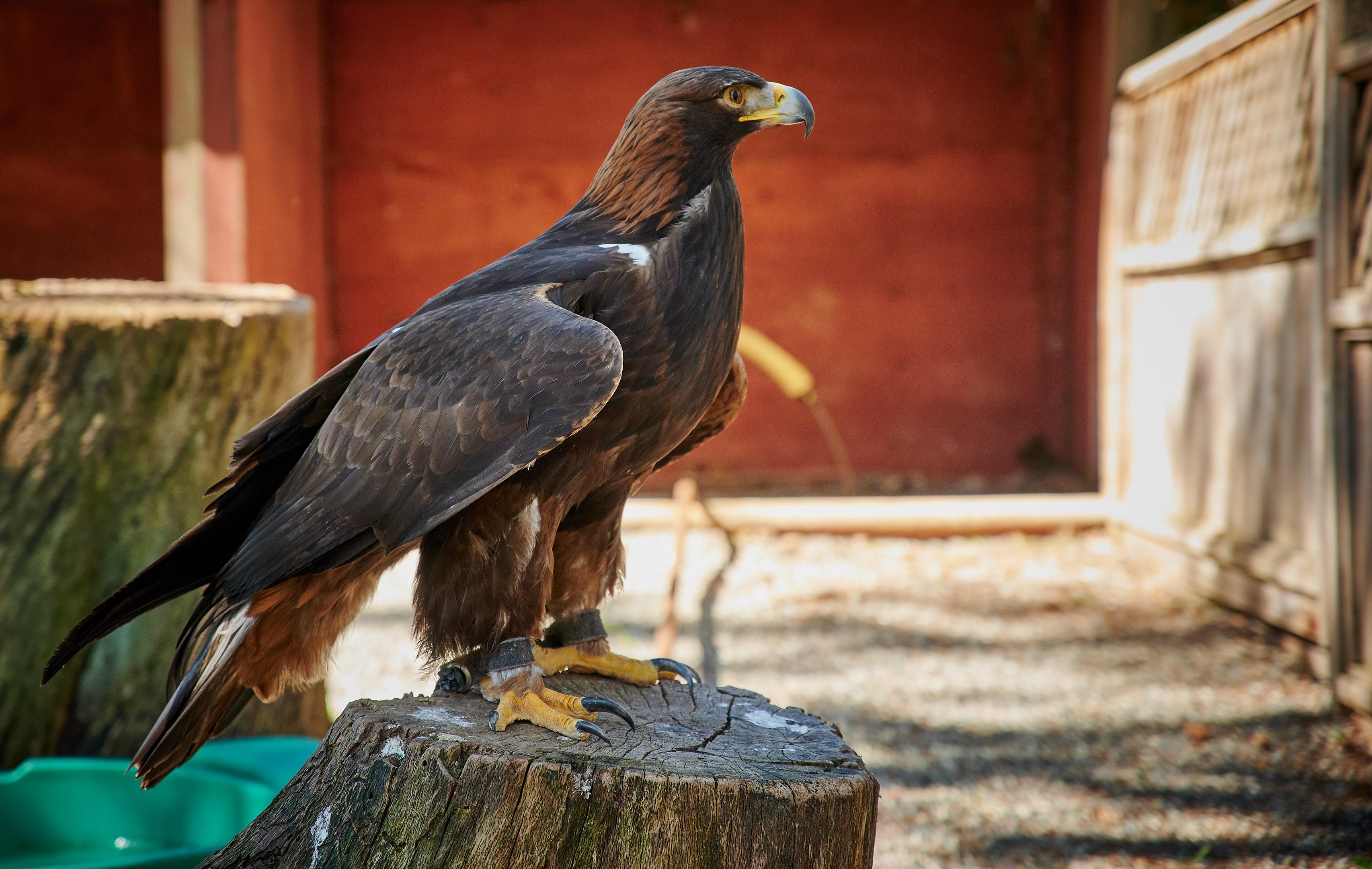 Vancouver Island Raptors - Nikon Z7 Nikkor 24-70 f/4 S - Golden Eagle