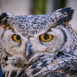 Vancouver Island Raptors – Nikon Z7 Nikkor 24-70 f/4 S – Owl close up