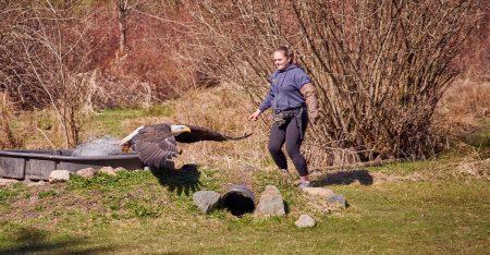 Vancouver Island Raptors – Nikon Z7 Nikkor 24-70 f/4 S – Bald Eagle flying demo
